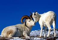 Alaska, animal, animals, Dall sheep, dam, Denali, national park, new, Ovis dalli, park, USA, America, United States,