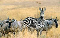 Burchell's Zebra (Equus burchelli) and Wildebeest (Connochaetes taurinus). Tarangire National Park, Tanzania