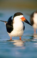 Black Skimmer (Rynchops niger). Sanibel Island. Florida. USA