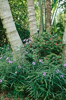 Gardening. Blue flowered Ruellia and red calliandra in shade of palms. Tropical garden