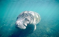 West Indian Manatee (Trichechus Manatus). Homosassa river. Florida. USA