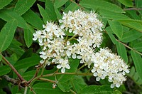 European Mountain Ash (Sorbus aucuparia), flowers and leaves. Höga Kusten (High Coast) of Skuleskogen National Park, Sweden