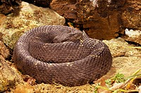 Arizona Black Rattlesnake (Crotalus viridis cerberus), captive