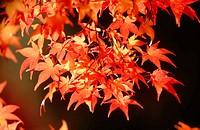 Japanese Maple (Acer palmatum) leaves at autumn. Ashland. Oregon. USA