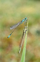 Blue-tailed Damselfly (Ischnura elegans). Bavaria. Germany
