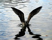 Bird spreading its wings on the water