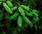 water drops on pine branch (Picea abies)