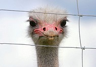 Ostrich farm in Tierp. Sweden