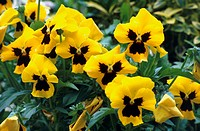 Pansies. These are the Ultima Yellow variety of pansy (Viola sp.).
