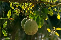 Aegle marmelos. Bael fruit tree with fruit medicinal K Jayaram.