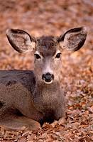 Mule Deer (Odocoileus hemionus). Capitol Reef National Park. Utah, USA