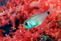 Orangelined cardinalfish (Archamia fucata) by a soft coral. Photographed in the Andaman Sea, Thailand.