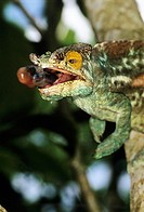 Parson´s chameleon. Image 1 of 3. Male Parson´s chameleon (Calumma parsonii) shooting out its sticky tongue to catch an insect (not seen). The tongue ...