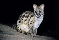 Large-spotted genet (Genetta tigrina) at night. The large-spotted genet is a solitary carnivore that inhabits the woodlands of southern and eastern Af...