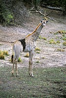 Giraffe (Giraffa camelopardalis) with a skin deformity (black patch). The giraffe is the tallest living land animal, growing up to six metres tall. It...