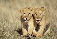 Lion (Panthera leo). Masai Mara wildlife reservation, Kenya