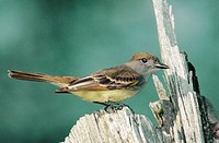 Great crested flycatcher (Myiarchus crinitus). Ontario. Canada