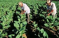 Hoyo de Monterrey, San Juan y Martínez. Tobacco plantation. Pinar del Río province. Cuba.