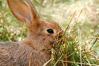 Young rabbit in a garden feeding on grass. Upper Palatinate, Bavaria
