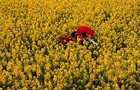 Field of yellow flowers, China