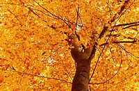 Common Beech (Fagus sylvatica) in Autumn. Spessart, Bavaria. Germany