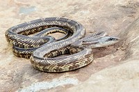Texas Rat Snake (Elaphe obsoleta lindheimeri), adult male