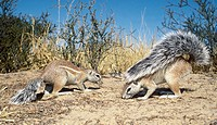 Cape ground squirrel (Xerus inauris) using tail as sunshade. Kgalagadi Transfrontier Park, Kalahari, South Africa