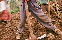 Children breaking up the soil in preparation for plating potatoes. Abancay. Peru