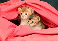 somalian kitten