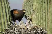 Harris Hawk (Parabuteo unicinctus) at nest in saguaro cactus showing rabbit prey. Desert dweller. Arizona. USA