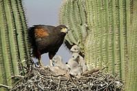Harris Hawk (Parabuteo unicinctus) at nest in saguaro cactus showing rabbit prey. Desert dweller. Arizona. USA