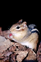 Eastern Chipmunk (Tamias Striatus) feeding on wild red raspberry. Killamey. Ontario. Canada