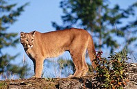 Cougar (Felis concolor), also called puma, panther and catamount.