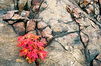 Red maple (Acer rubrum) seeding in fall colour growing from crack in rock
