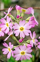 Bird´s Eye Primrose (Primula mistassinica): close-up of Arctic alpine plant blooming along Lake Huron shore. Bruce Peninsula National Park. Ontario, C...