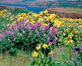 Lupine (Lupinus sp.) and Arrowleaf Balsamroot (Balsamorhiza sagittata), Tom McCall Preserve at Rowena. Columbia River Gorge National Scenic Area. Wasc...