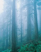 Misty Redwood Forest, Oregon, USA