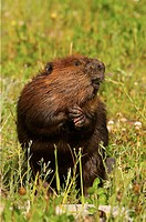 American Beaver (Castor canadensis)
