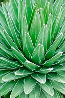 Agave (Aloe vera)