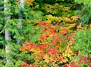 Autumn-colored maple leaves. Snoqualmie Pass. Mount Baker-Snoqualmie National Forest. Washington. USA