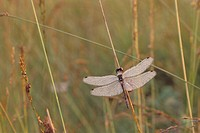 Black Darter dragonfly (Sympetrum danae) with morning dew. Germany