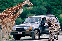People, car, giraffe (Giraffa camelopardalis reticulata) and zebra