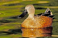 Red Shoveler (Anas platalea)