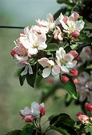 Apple tree in blossom (2)