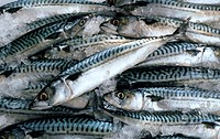 Fresh mackerel on ice (filling the picture)