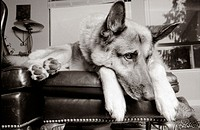 German Shepherd on chair with bored look