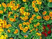 Slipperwort (Calceolaria sp.)