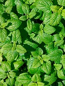 Lemon Balm (Melissa officinalis) (thumbnail)