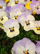 Pansies (Viola sp.)
