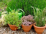 Aromatic herbs: Thyme (Thymus vulgaris), Rosemary (Rosmarinus officinalis), Marjoram (Origanum officinalis) and Camomile (Matricaria chamomilla)
